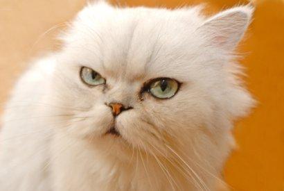 cat skin cancer